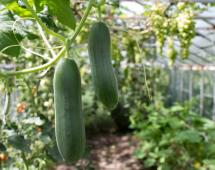 Отличный урожай огурцов в теплице с углекислым газом