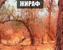 Жираф спрятался
