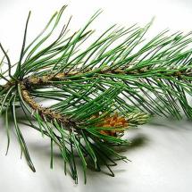 Веточка хвойного дерева для зубной щётки